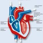 Физиология сердечно-сосудистой системы